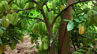 Starfruit abundance